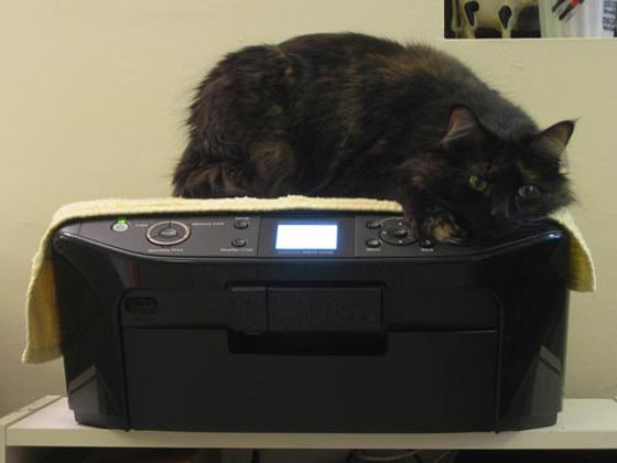 A cat on Epson Stylus RX595 printer